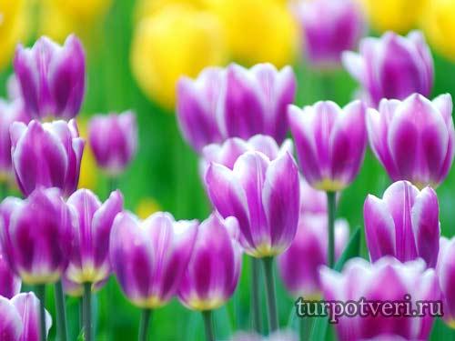 Ботанический сад Тверь бал тюльпанов