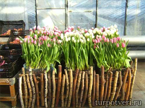 МУП Зеленстрой-Тюльпаны