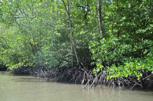 mangrovyie-zarosli