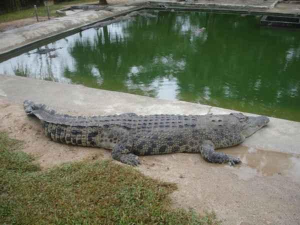 na-krokodilovoy-ferme