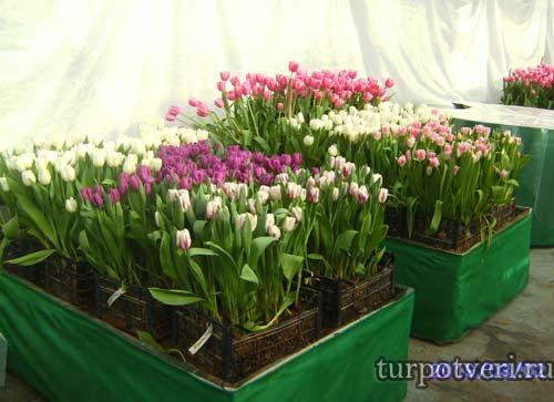 Тюльпаны в Зеленстрой